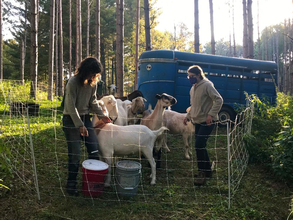 Two people taking care of goat